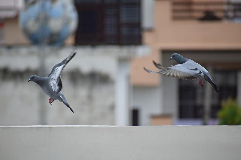 В Зауралье пресекли незаконный вывоз голубей