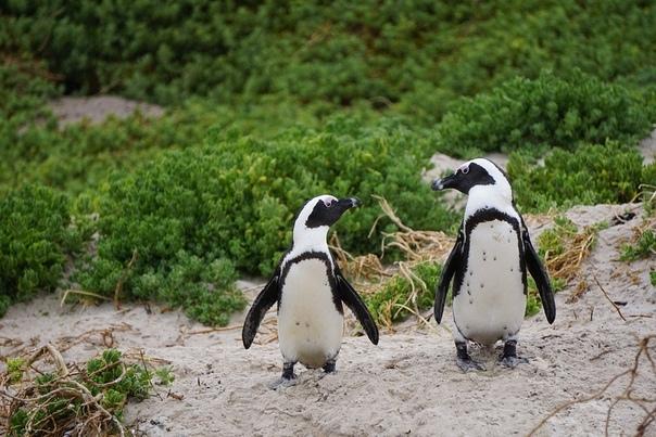 В Британии пингвинов развлекают мыльными пузырями