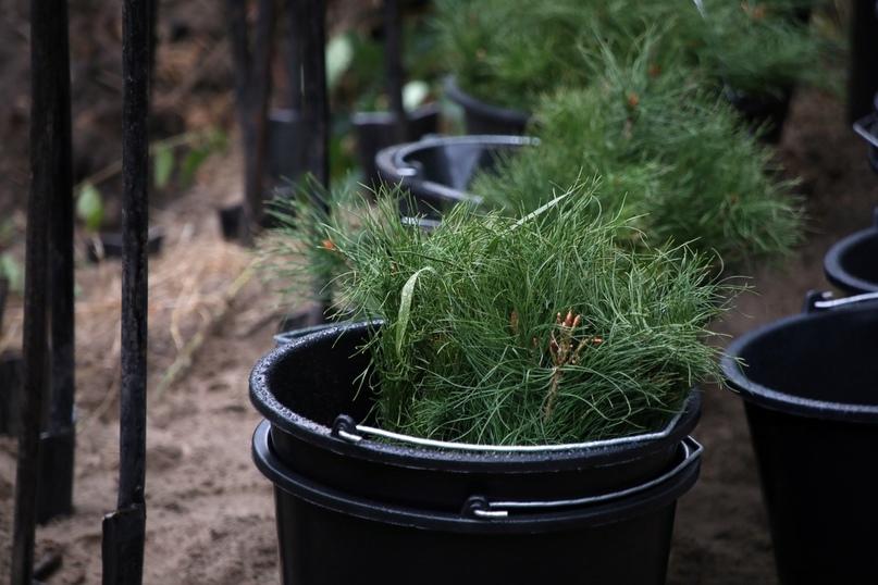 Четыре тысячи сосен посадили в Зауралье